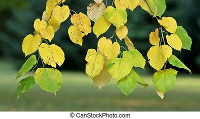 Leaves - Linden leaves