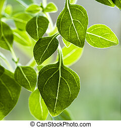 Leaves of a basil plant, variety Piccolino