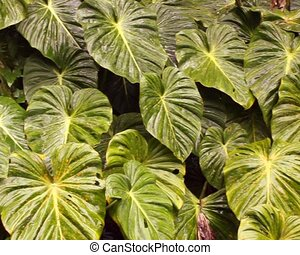 Leaves of a giant arum