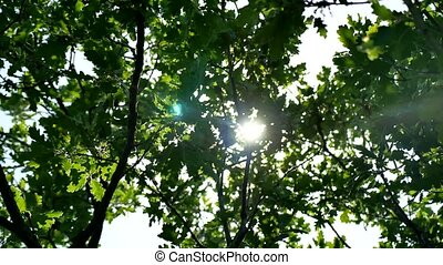Leaves of a green oak tree branch. Sun glare sunlight summer morning beautiful nature landscape