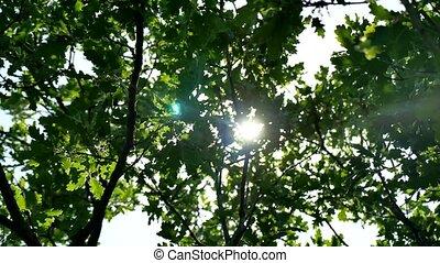 Leaves of a green oak tree branch. Sun glare sunlight summer...