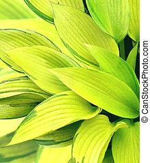 Leaves of a hosta