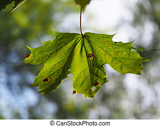 leaves of a maple