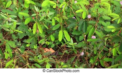 Leaves of a Sensitive Plant Awakening after a Touch. 1080p...