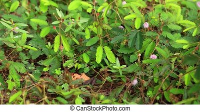 Closeup of the leaves of the Mimosa Pudica, awakening and opening up in various shades of green, with pretty pink flowers. 4k DCI video