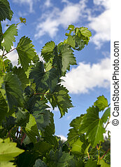 leaves of a vineyard