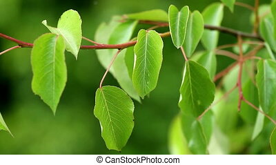 Leaves of a wild pear tree