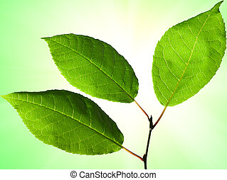 Green leaves of an aspen close up