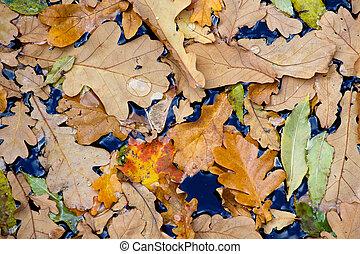 Leaves of autumn trees in water, big water drop on oak leaf