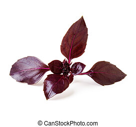 Leaves of basil on a white background