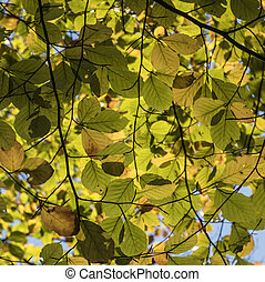 leaves of beech tree in indian summer colors