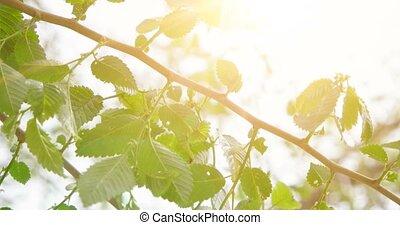 Leaves of Common Elm, fresh tree leaves in morning sunlight, selective focus, shallow DOF