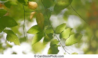 Leaves Of Corylus Bushes