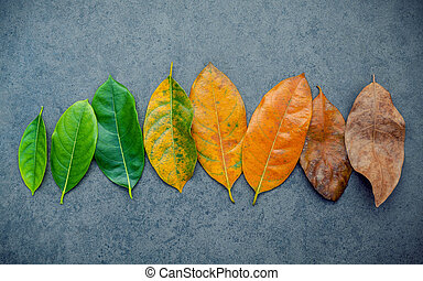 Leaves of different age of jack fruit tree on dark stone background. Ageing and seasonal concept colorful leaves with flat lay and copy space.