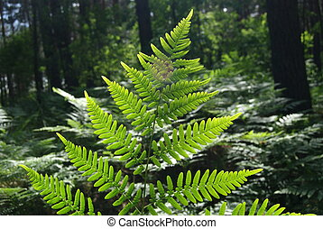 Leaves of fern - Dryopteris filix-max. - Sheet of fern -...