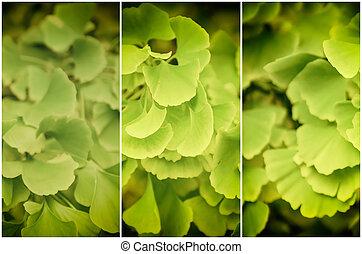 Leaves of Gingko Biloba - Green and yellow fall leaves of ...