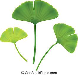 Leaves of ginkgo biloba. Vector illustration on white...