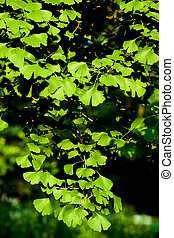 Leaves of Ginkgo biloba tree
