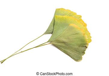 leaves of ginkgo biloba tree