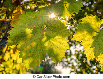 Leaves of grapes in the rays of autumn sun at sunset