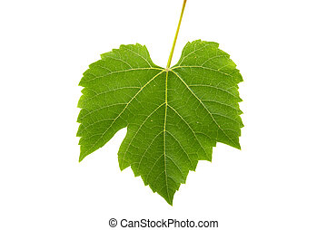 Leaves of grapes on a white background