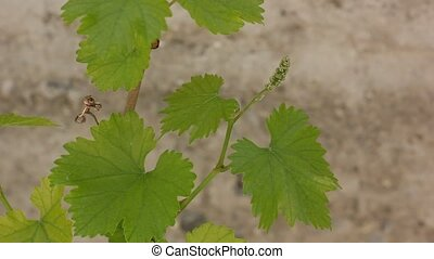 leaves of grapes