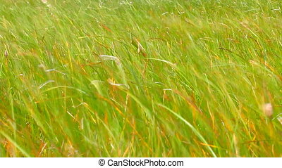 Leaves of grass. Life-affirming motive - green grass swaying...