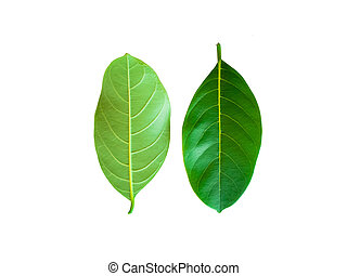 Leaves of jackfruit trees and Thai fruits on a white background