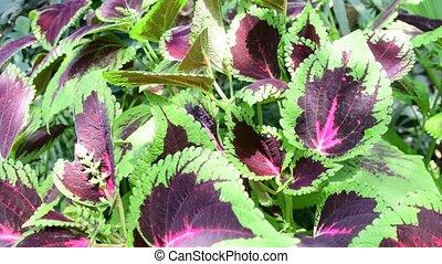 Leaves of Koleus plant. Green background. 4K. - Leaves of...