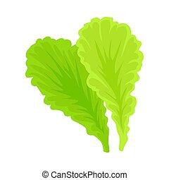 Leaves of lettuce. Vector illustration on a white background.