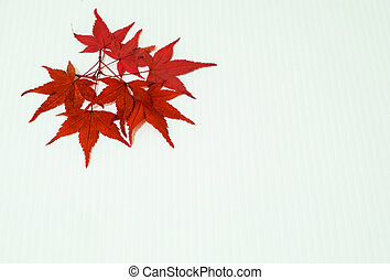 Leaves of Maple on white background