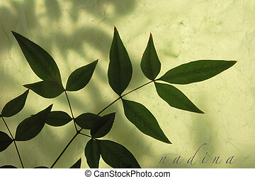 leaves of nandina