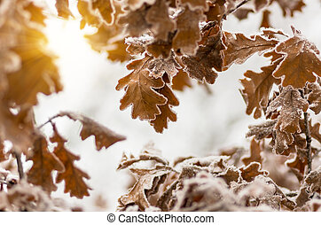 Leaves of oak tree with hoarfrost in forest