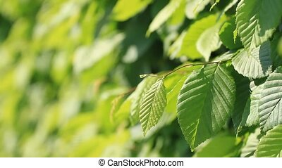Leaves of ornamental bushes in the summer park