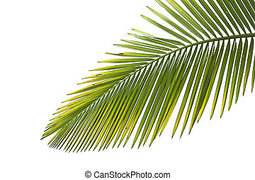 Leaves of palm on white background
