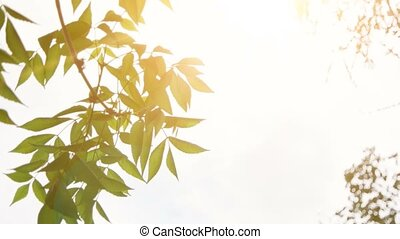 Leaves of park tree moving slow on wind with bright morning sun on background