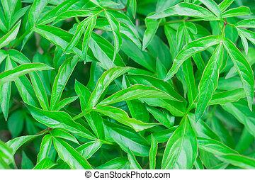 leaves of peonies