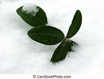 Leaves of periwinkle under the snow