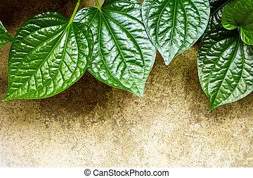 Leaves of Piper sarmentosum beside the concrete floor