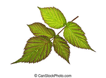 Leaves of raspberry on a white background