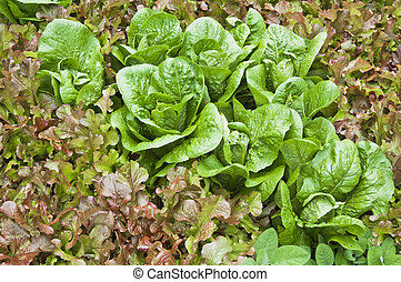 Leaves of salad in a garden, a close up
