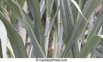 Leaves Of Sugar Cane Plants