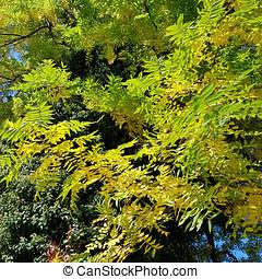 Leaves of the European ash in autumn - The European ash,...