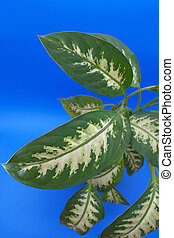Leaves of the flower (dieffenbachia)