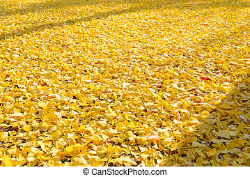 Leaves of the ginkgo tree in fall