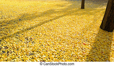 Leaves of the ginkgo tree in fall on the ground
