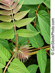 Leaves of the invasive Tree of Heaven (Ailanthus altissima), also known as Stinking Sumac.