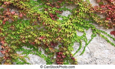 Leaves of the ivy curling on a wall wave on a wind