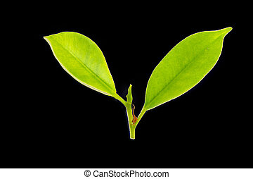 leaves of the Korean banyan on white background