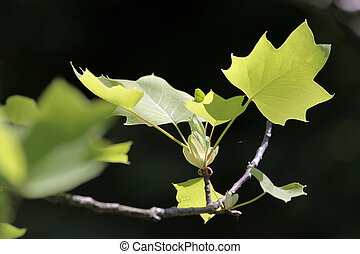 Leaves of the Norway maple, Acer platanoides